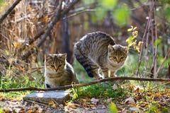 Dois gatos macios cinzentos sentam-se Foto de Stock Royalty Free