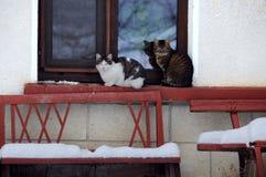 Dois gatos no inverno Fotografia de Stock Royalty Free