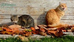 Dois gatos no jardim nas folhas de outono vídeos de arquivo