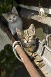 Dois gatos novos na calha do telhado, fim acima Fotografia de Stock Royalty Free