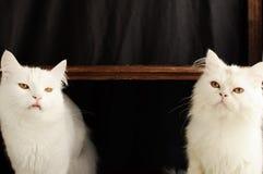 Dois gatos persas Foto de Stock