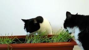 Dois gatos preto e branco domésticos comem a aveia da casa Grama crescida para animais de estimação Animal de estima??o care video estoque