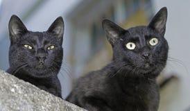 Dois gatos pretos Fotografia de Stock Royalty Free