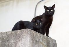 Dois gatos pretos Imagem de Stock