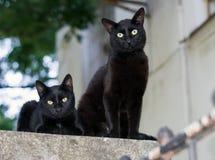 Dois gatos pretos Fotografia de Stock