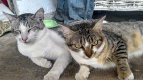 Dois gatos que encontram-se junto Imagens de Stock Royalty Free