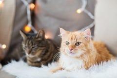 Dois gatos que encontram-se no sofá com pele de carneiro em casa Fotos de Stock