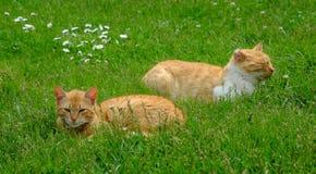 Dois gatos vermelhos que liying nos gras Imagens de Stock