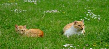 Dois gatos vermelhos que liying nos gras Foto de Stock