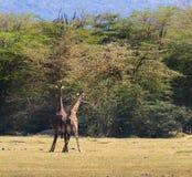 Dois girafas de Maasai que poupam um com o otro Foto de Stock Royalty Free