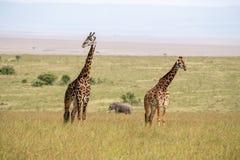 Dois girafas e um elefante em Masai Mara imagens de stock royalty free