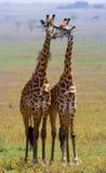 Dois girafas no savana kenya tanzânia East Africa Imagem de Stock