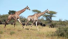 Dois girafas que galopam no parque nacional de Kruger Imagens de Stock