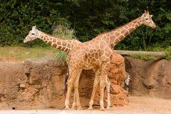 Dois giraffes imagem de stock