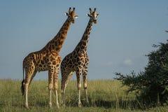 Dois giraffes imagens de stock royalty free