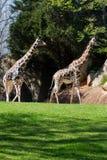 Dois Giraffes Foto de Stock