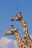 Dois Giraffes de Rothschild Imagens de Stock
