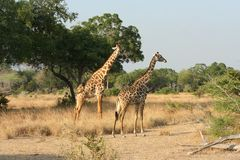 Dois giraffes em Selos pak Imagens de Stock
