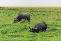 Dois gnu do gnu que descansam no Masai mara do parque nacional de kenya foto de stock