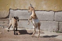 Dois goatlings novos engraçados Foto de Stock Royalty Free
