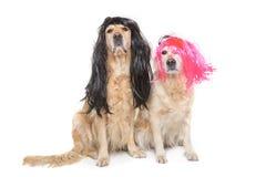 Dois golden retriever com perucas Fotos de Stock