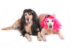 Dois golden retriever com perucas Fotografia de Stock Royalty Free