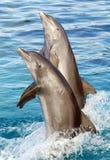 Dois golfinhos Fotografia de Stock