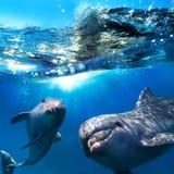 Dois golfinhos engraçados que sorriem debaixo d'água Imagens de Stock