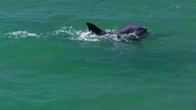 Dois golfinhos que jogam na água filme