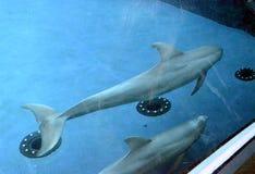 Dois golfinhos que nadam Imagem de Stock