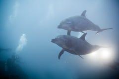 Dois golfinhos que nadam junto a vista sob a água Imagens de Stock