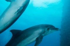 Dois golfinhos que nadam no Mar Vermelho a e a e Imagem de Stock