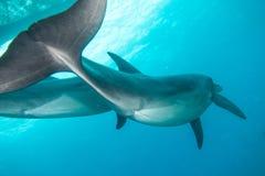 Dois golfinhos que nadam no Mar Vermelho a e a e Foto de Stock Royalty Free