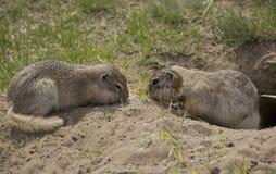 Dois Gopher comem o alimento perto da toca imagens de stock