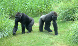 Dois gorila Fotografia de Stock Royalty Free