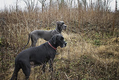Dois grandes dinamarqueses na mola adiantada dos arbustos Foto de Stock