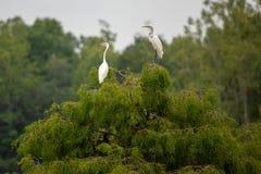 Dois grandes Egrets empoleirados sobre uma árvore imagem de stock