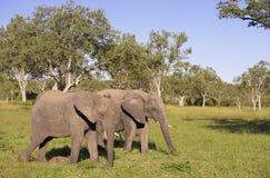 Dois grandes elefantes Fotografia de Stock Royalty Free