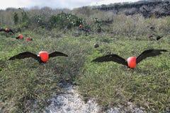 Dois grandes pássaros de fragata Fotografia de Stock Royalty Free