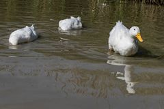 Dois grandes patos brancos de Aylesbury Pekin com cabeça abaixo do SE de superfície fotografia de stock