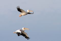Dois grandes pelicanos Foto de Stock