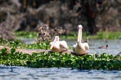 Dois grandes pelicanos brancos ou onocrotalus do Pelecanus Imagens de Stock