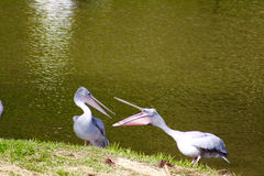 Dois grandes pelicanos brancos que comunicam-se perto do lago Fotografia de Stock Royalty Free