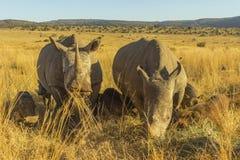 Dois grandes rinocerontes que pastam Foto de Stock Royalty Free