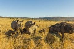 Dois grandes rinocerontes que pastam Imagem de Stock