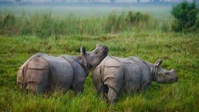 Dois grandes rinocerontes um-horned selvagens em um parque nacional Fotografia de Stock Royalty Free