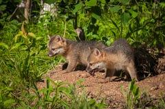 Dois Grey Fox Kits & x28; Cinereoargenteus& x29 do Urocyon; em Densite Fotos de Stock Royalty Free
