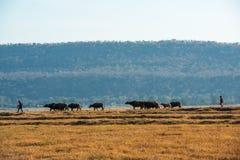 Dois grupos de controlo dos cattlemen de búfalos imagens de stock