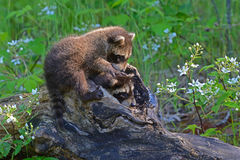 Dois guaxinins do bebê que saem de um log oco Foto de Stock