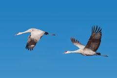 Dois guindastes de Sandhill em voo Foto de Stock